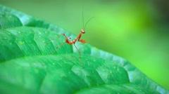Juvenile, Red Praying Mantis, Stretching his Legs. Video 4k Stock Footage