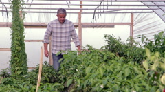 Farmer Checks Chilli Plants In Greenhouse Shot On RED Camera - stock footage