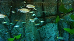 Dozens of Tiny, Tropical Fish in a Public Aquarium. Video 4k Stock Footage