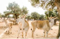 Defocused background of a group of antelopes waiting for food Stock Photos