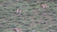 Guanacos in field with chulengos Stock Footage