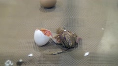 Chick just hatched from the egg and moving for the first time Stock Footage