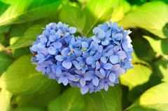 Heart shaped purple blue Hydrangea detail Stock Photos