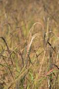 Riceberry rice spike - stock photo