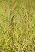 Rice spike in the paddy field Stock Photos