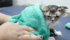 Drying kitten in towel after washing - stock footage