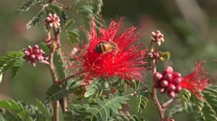Honey bee on a red fairy duster flower Stock Footage