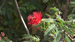 Honey bee on a red fairy duster flower - stock footage