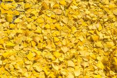 Gingko leaf yellow fall on ground. Stock Photos