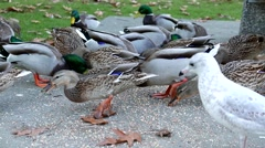 Canada goose and ducks finding food on the ground Stock Footage
