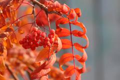 Stock Photo of Rowan (Sorbus aucuparia) ripe pomes and red autumn leaves against a grey back