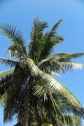 Coconut palm (Cocos nucifera) against a blue sky Stock Photos