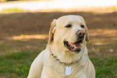 Pedigreed Labrador dog portrait. A close up look. Stock Photos