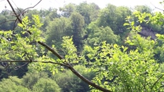 Leafy tree branches in the wind. Green leaves on branches moving in the wind - stock footage