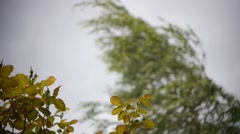 Branches of birch with leaves hanging in the rain and wind  - stock footage