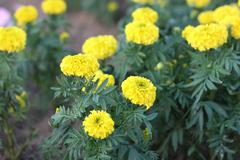 Marigold petite yellow flowers in garden - stock photo