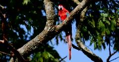 Scarlet Macaw. Parrot. Pantanal, Wetlands, Brazil. 4K Stock Footage