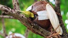 Couple of parrots in the nest. The parrot feeds her nestling - stock footage
