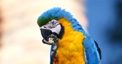 Blue and Yellow Macaw, Parrot.  Pantanal wetlands, Brazil 2 (4K) Stock Footage