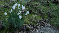 Foretells snowdrop spring Stock Footage