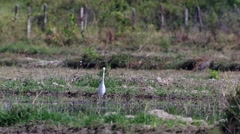 White crane catching food in the paddy field Stock Footage