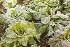 frost salad after a cold night in winter - stock photo