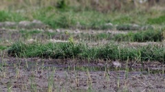 Pond heron catching food in hot paddy field Stock Footage
