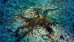 Wunderpus Photogenicus - octopus Stock Footage