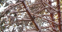 4K, woodpecker bird sitting on tree Sunny winter day, and feeds on, slow motion Stock Footage