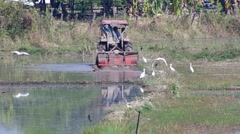 White cranes landing and find food follow the tractor Stock Footage