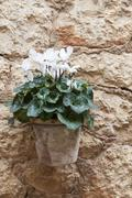 Cyclamen flower outdoor in summer Stock Photos