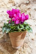 cyclamen flower outdoor in summer - stock photo