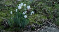 Foretells snowdrop spring Stock Footage