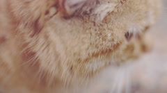 Cat portrait. Cute red big cat portrait over nature white blurred background Stock Footage