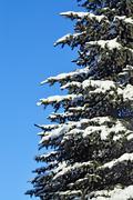 Blue spruce in snow Stock Photos