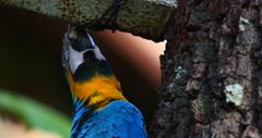 Blue and Yellow Macaw, Parrot.  Pantanal wetlands, Brazil 7 (4K) Stock Footage