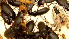 Black, yellow and grey insects are fighting isolated on white Stock Footage