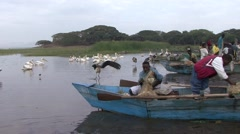 Maribou and Pelicans standing in water at Lake Awassa trying to get fish Stock Footage