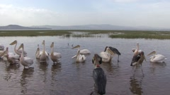 Maribou and Pelicans in water at Lake Awassa fighting for fish Stock Footage