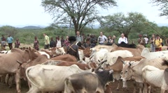 Hamer people in Omo Valley and the bull running cermony passage rite - stock footage