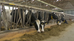 Herd of black and white cows - holstein on ranch, eating in stable. Large farm. Arkistovideo