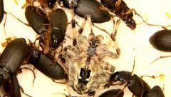 Black, yellow and grey insects are fighting on white Stock Footage