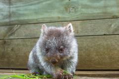 Little Wombat Tasmania Stock Photos
