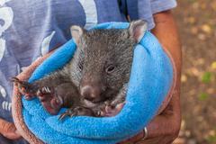 Baby sweet Wombat Stock Photos