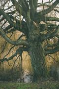 Old bare tree - stock photo