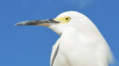 Snowy Egret with Yellow Eyes on Rock with Blue Skies, 4K Stock Footage