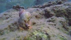 Time Lapse Triton Snail Underwater Stock Footage