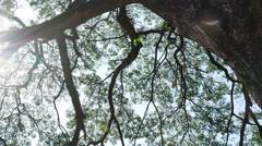 Stock Video Footage of Big Mimosa tree with sunlight slider scene