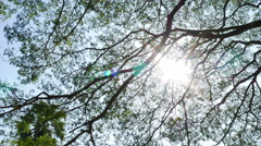 Big Mimosa tree with sunlight slider scene Stock Footage