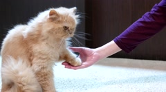 Persian cat shaking hand with people Stock Footage